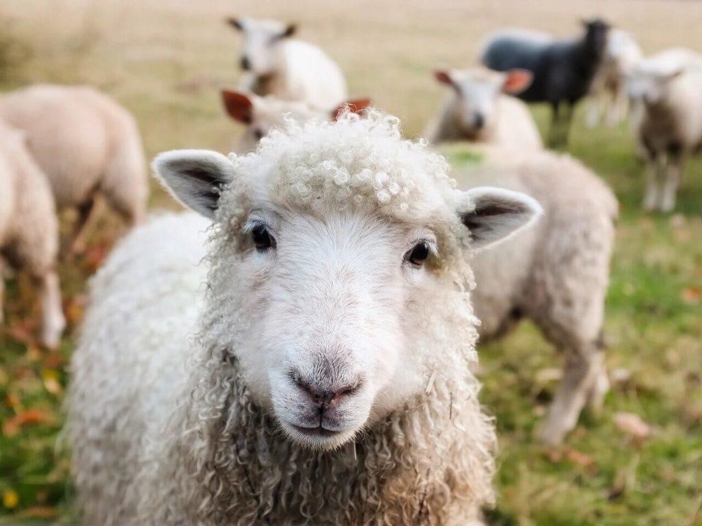 Háziállat nevek, bárány nevek
