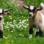 A legnépszerűbb kecske nevek